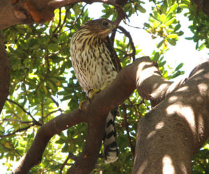 Hawk in the Courtyard